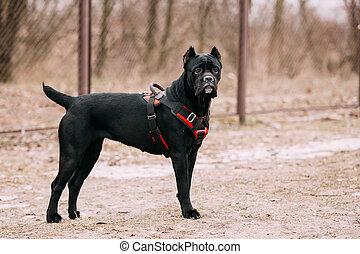 schwarz, junger, krückstock, corso, junger hund, hund,...