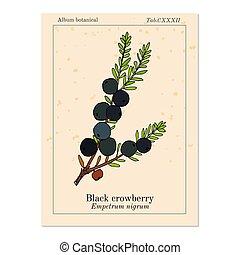 schwarz, medizinisch, essbare , nigrum, empetrum, crowberry, pflanze
