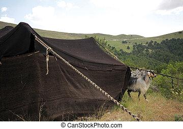 schwarz, nomadic, zelte, ziegen, life.