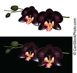 schwarz, orchidee