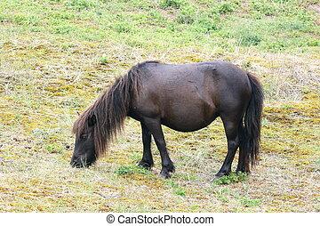 Schwarz,  pony