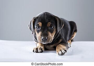 schwarz, puppie