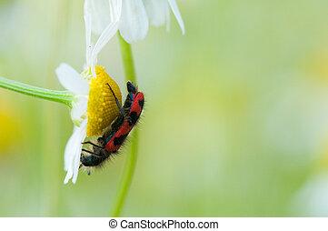 Schwarz Rote Käfer