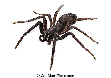 schwarz, spinne, arten, tegenaria, sp