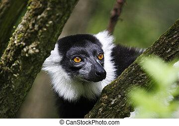 schwarz weiß, ruffed lemur, genommen, in, juli, 2007