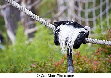 Schwarz-weisser Stummelaffe - Rueckansicht eines Affen, der...