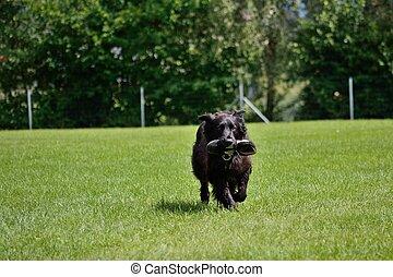 schwarzer Hund bringt Turnschuh - black dog brings Sneakers