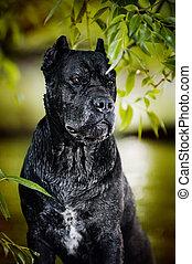 schwarzer hund, krückstock, corso