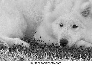 schwarzer hund, samoyed, gras, weißes