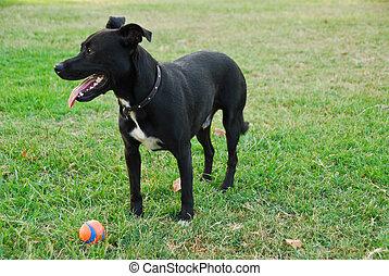 schwarzer hund, spielende , mit, kugel