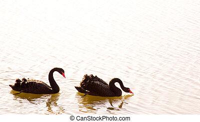 schwarzer schwan, paar, in, wasser