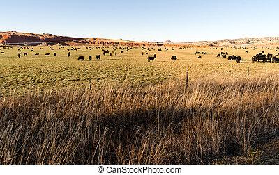 schwarzes angus, vieh, streifen, groß, ranch, wyoming,...