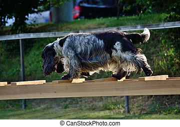 schwarzweisser Hund balanciert auf Leiter - black white dog ...