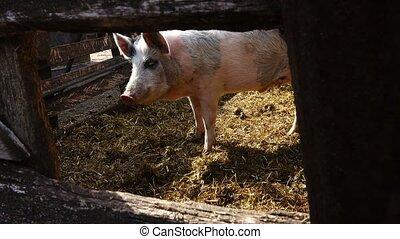 schwein, auf, a, bauernhof