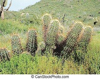 schwein, hecke, kaktus