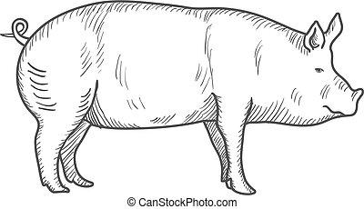 schwein, weinlese, graviert, abbildung, freigestellt, auf, a, weißes, hintergrund., vektor