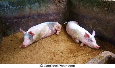 schweine, auf, a, bauernhof, auf, java, indonesien