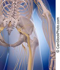 sciatic nerve - medically accurate illustration - sciatic...