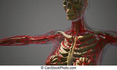 science anatomy of human Blood Vessels