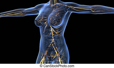 science anatomy of human body in x-ray with glow blood vessels on blue. alpha channel