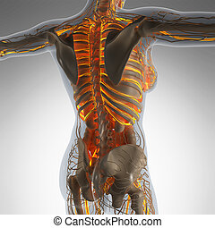science anatomy of human body in x-ray with glow blood vessels