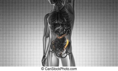 science anatomy scan of human colon
