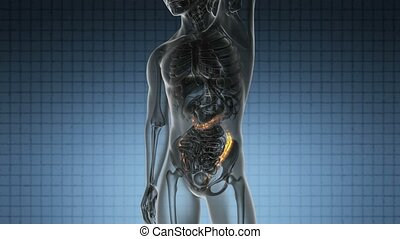 anatomy scan of human colon - science anatomy scan of human...