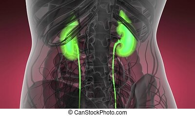 Science Anatomy Scan Of Human Kidneys Glowing