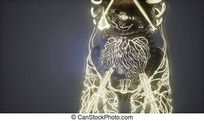science anatomy scan of woman heart and blood vessels...