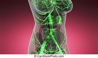 science anatomy scan of woman heart and blood vessels glowing
