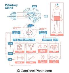science, glande, illustration, endocrine, system., vecteur, ...