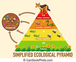 Science simplified ecological pyramid illustration