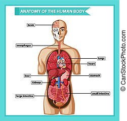 Scientific medical illustration of human body anatomy