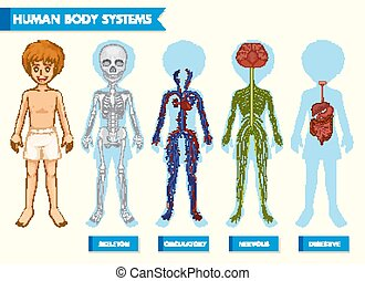 Scientific medical illustration of human body systems