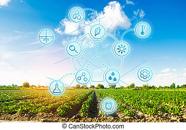 Scientific work and selection, crop forecasting and condition analysis. Modern farming. field of vegetables on a sunny day. Fresh green greens. Innovations and developments in agriculture.