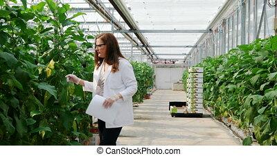scientifique, examiner, aubergine, serre, 4k