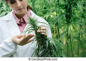 Scientist checking hemp flowers - Female scientist in a hemp...