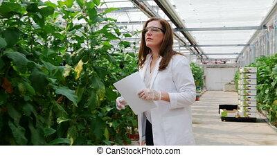 Scientist examining aubergine in greenhouse 4k - Female ...