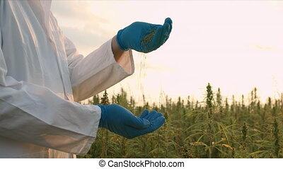 Scientist on hemp field - Scientist examining Hemp seeds ...