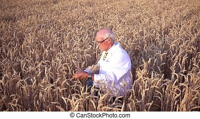 Scientist researching new types of grain, crops and plants -...