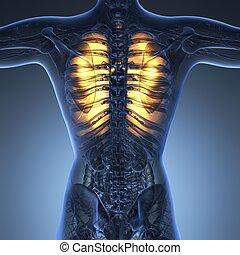 scienza, anatomia, di, corpo donna, con, splendore, polmoni