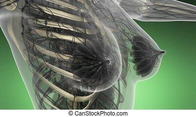 scienza, anatomia, di, corpo umano, in, raggi x, con, scheletro, ossa