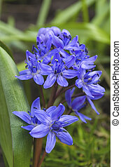 Scilla bifolia in the garden