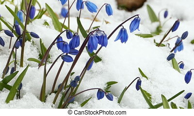 Scilla blue flowers appeared from under the snow zoom out
