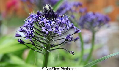 scilla flowers in spring - deep blue flowers on a complex...
