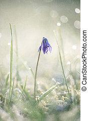Scilla siberica in spring