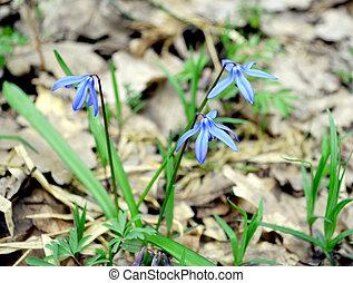 Scilla - spring blue flower