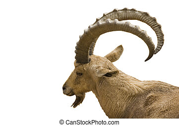 Scimitar horned IBex on white background