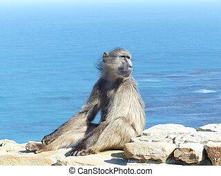 scimmia