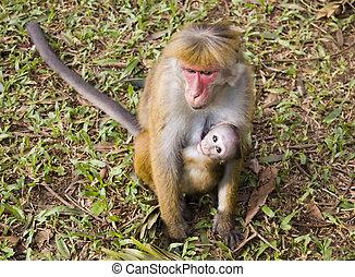 scimmia bambino, mamma